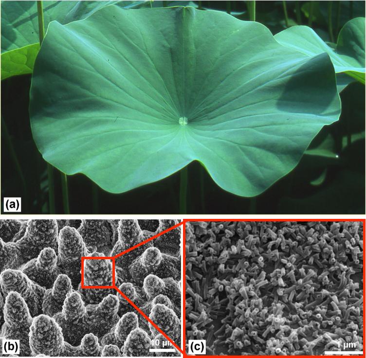 Lotus leaf structure photos