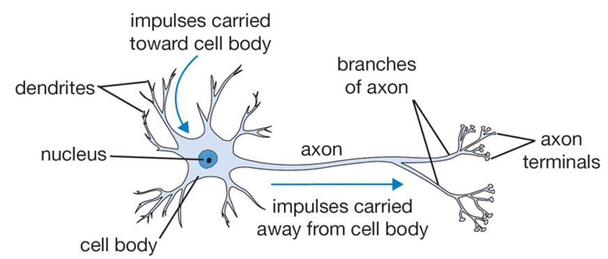 biological_neuron-1